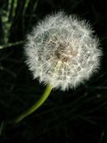 Dandelion 4 Royalty Free Stock Photography