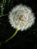 Dandelion 4. Closeup of a dandelion Royalty Free Stock Photography
