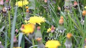 Dandelion zbiory