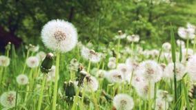 Dandelion zbiory wideo