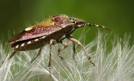 On the dandelion. Bug running on the dandelion Stock Image