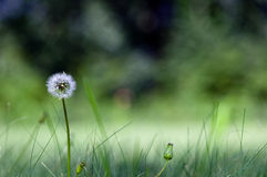 Dandelion. In Peking Beijing Botanical Garden Stock Photo