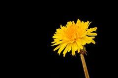 Dandelion. Yellow dandelion isolated on black background Royalty Free Stock Image