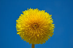 Dandelion. Closeup of a dandelion against blue sky Stock Photos