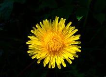 Dandelion. Big dandelion on black backgruond Royalty Free Stock Images