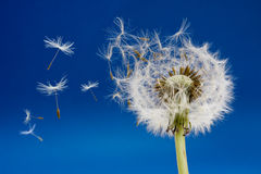 Dandelion. Seeds being blown in the wind stock image