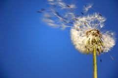 Dandelion. Flower over a blue sky blown away by the wind Royalty Free Stock Photo