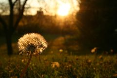 Dandelion. With a sunset back lighting the scene stock image