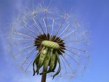 Dandelion. Macro, on the blue sky Stock Images