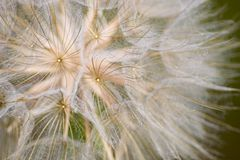 Dandelion. Close up of a large seeded dandelion royalty free stock photos