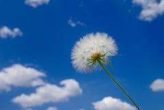 Dandelion. The big white beautiful dandelion against the blue sky Stock Photos