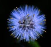 Dandelion. Photo was taken in New York in spring 2007 Stock Image