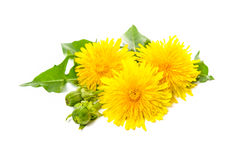 Free Dandelion Royalty Free Stock Photography - 55466747