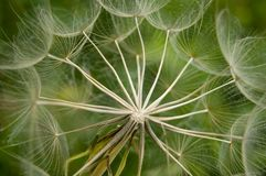 Dandelion. Close up of a dandelion stock image