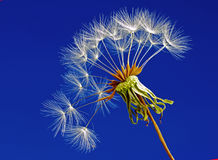 Dandelion. Close-up shoot of a half-baked dandelion in blue background Royalty Free Stock Photography