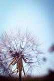 Dandelion Obraz Royalty Free