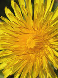 Dandelion. Closeup of a nice new yellow dandelion stock photo