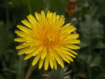Dandelion. Yellow dandelion Stock Photography