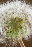 Dandelion. Captured very close up royalty free stock photos