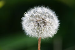Dandelion. Macro shot of a dandelion Royalty Free Stock Photography