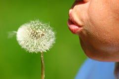 Dandelion. Blowing dandelion stock photo