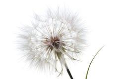 Free Dandelion Stock Photography - 6145202