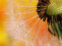 Dandelion. Close up of nice colorfull dandelion stock photography