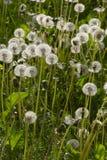Dandelion. 's bloom Stock Photos