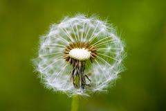 Dandelion. Image of a dandelion Stock Photos