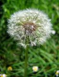 The dandelion Stock Images