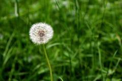Dandelion (1) Obraz Stock