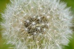 Dandelion Fotografia Stock