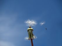 Dandelion. Blown by the breeze Royalty Free Stock Images