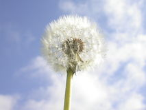Dandelion. Single dandelion standing tall and proud in the the summer sun Stock Photo