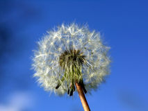 Dandelion. Close up on blue sky Royalty Free Stock Images