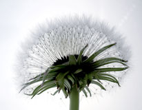 DANDELION. Artistic shot of a dandelion in light background Royalty Free Stock Images