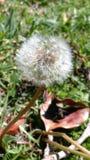 Dandelion Fotografia Royalty Free
