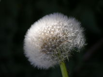 Dandelion. Isolated dandelion with the black backgroud Royalty Free Stock Photos