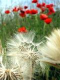 Dandelion. A dandelion on a opium poppy field royalty free stock photo