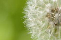 Free Dandelion Royalty Free Stock Images - 8108159