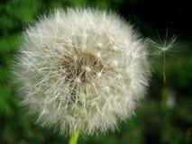 Dandelion. Royalty Free Stock Image