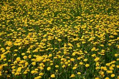 Dandelion. Meadow royalty free stock photo