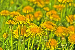 Free Dandelion Stock Photos - 8297013