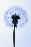 Dandelion. Flower. Close-up view Royalty Free Stock Photography