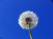Dandelion. A dandelion against a blue sky Stock Images