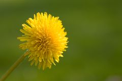 Dandelion. Blossom in front of a green meadow Stock Images