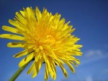Dandelion. Stock Photo