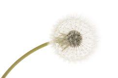 Dandelion. Close-up on white background stock image