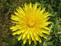 Dandelion. Photo of dandelion royalty free stock images