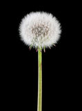 Dandelion. Head full of seeds isolated on black background royalty free stock images